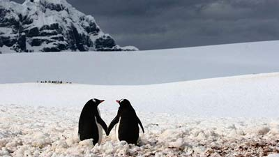 Penguin kaisar yang setia kepada pasangannya