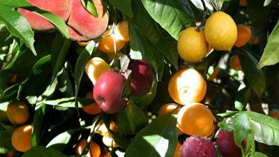 Pohon dengan buah yang etilennya mematangkan 1 sama lain