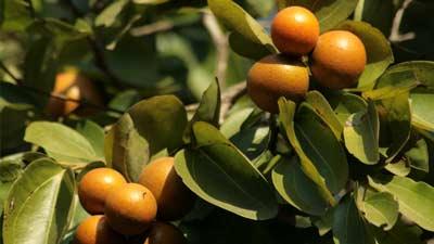 Pohon Strychnine memiliki kandungan racun srychnine yang mematikan