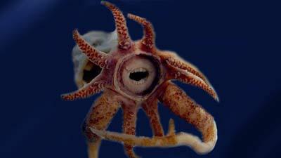 Promachoteuthis Sulcus adalah spesies cumi-cumi aneh yang memiliki gigi layaknya manusia