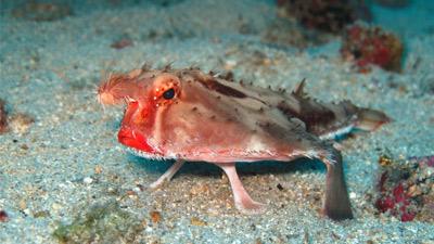 Ikan bibir tebal Red Lipped Batfish
