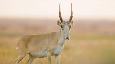 Kijang dengan hidung yang aneh ini bernama Saiga Antelope