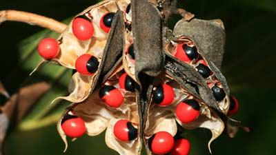 The Rosary Pea adalah salah satu tanaman paling mematikan di dunia