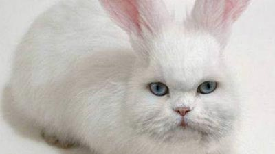 Cabbit cat