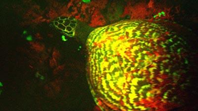 kura-kura menyala dalam gelap