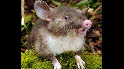 Pig Nosed Vampire Rat