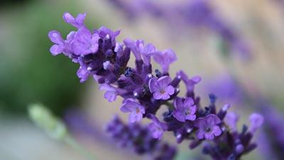Bunga Lavender