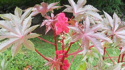 Castor Plants