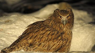 blakiston fish owl