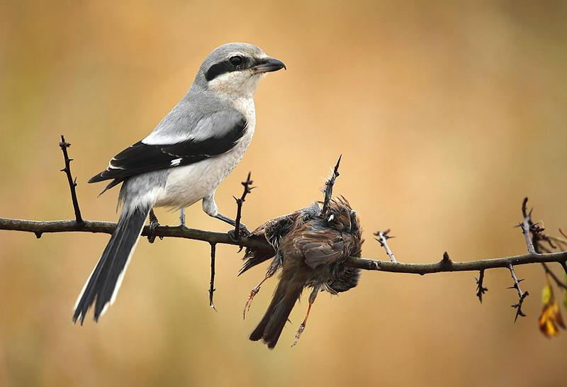 butcherbirds