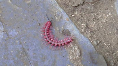 pink dragon milipede