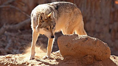 wolf urine