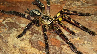 Fringed Ornamental Tarantula