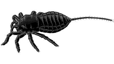 Attercopus