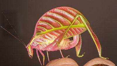 Eulophophyllum Kirki
