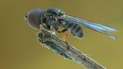 Giant-Eyed Fly