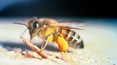 Image result for Lebah Pembunuh (Killer Bees)