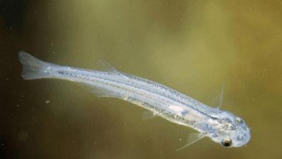 10 Ikan Air Tawar Paling Berbahaya