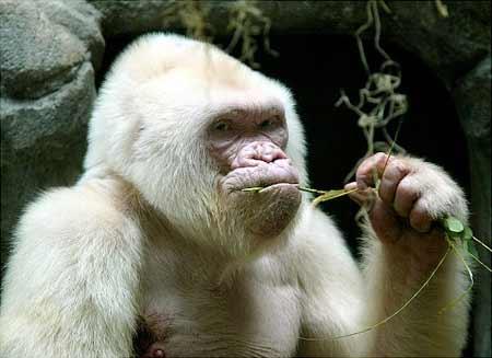 Gorilla putih adalah salah satu hewan albino terlangka di dunia
