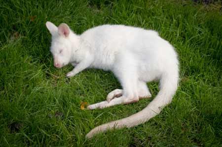 Kanguru putih adalah salah satu hewan albino terlangka di dunia