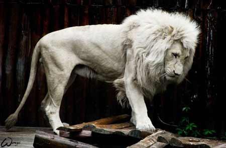singa putih adalah salah satu hewan albino terlangka di dunia