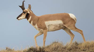 Pronghorn in the hill