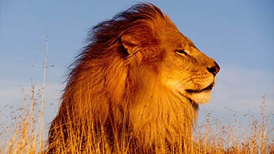 Lion feel a breeze of wind
