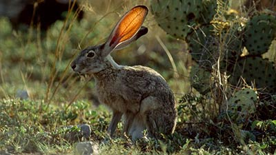 Jack Rabbit in the wild