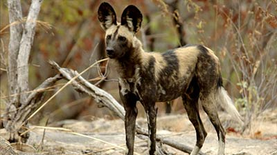 African wild dog looking for hunt