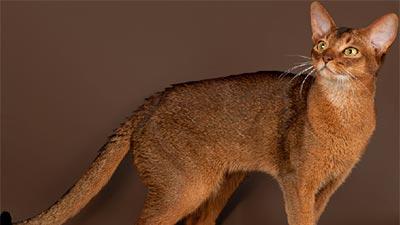 Reddish Abyssinian Cat