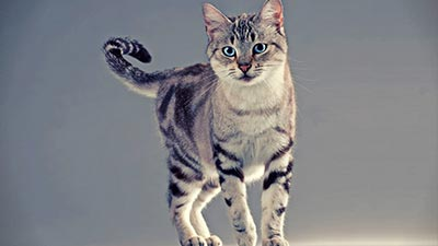American Breed cat