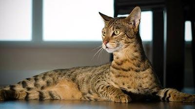 Leopard pattern Ashera