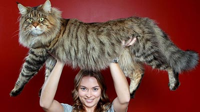 Big cat maine coon