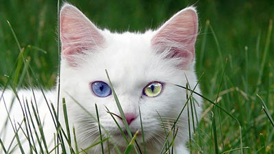 Blue and green turkish eye cat