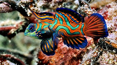 Most Beautiful fish in the world, Mandarin Fish