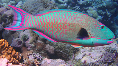 Rainbow color of parrot fish