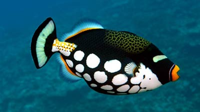 Clown Trigger fish white spot