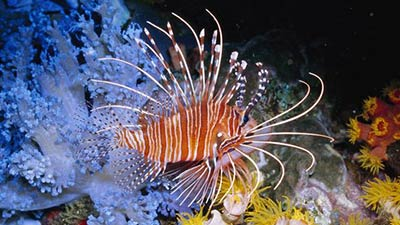 Lion Fish in the reef