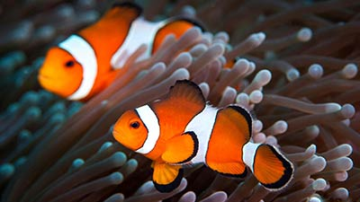 Finding Nemo - Clown Fish