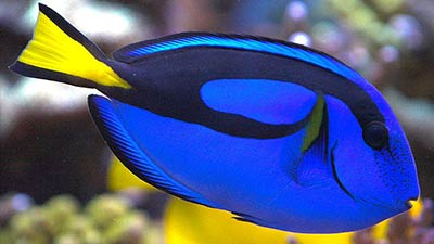Finding Nemo Dory -Regal Tang Fish