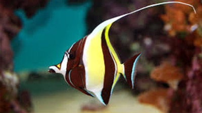 Moorish idol black and yellow pattern