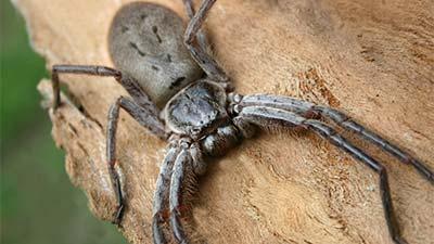 Laba-laba terbesar ke-2 di dunia The huntsman