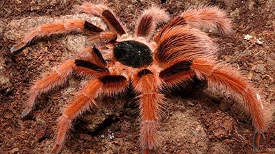 Laba-laba brazil giant tawny red tarantula