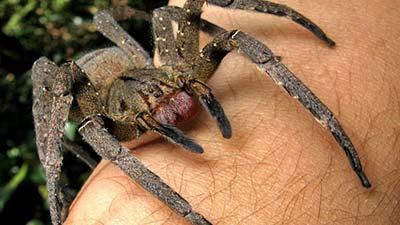 Laba-laba brazilian wandering spider