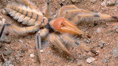 Laba-laba Solifugae camel spider