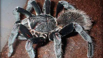 Laba-laba colombian giant black tarantula