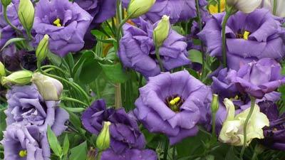 Bunga mahal Lisianthus