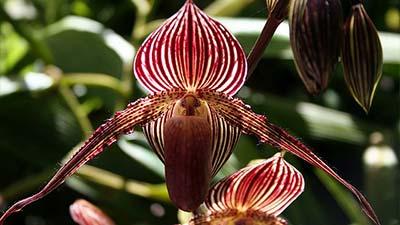 Bunga Taman Nasional Malaysia  Gold of Kinabalu Orchid