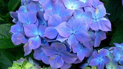 The Flower of Hydrangea