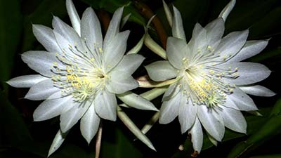 Bunga Kadupul alias The Flower from Heaven